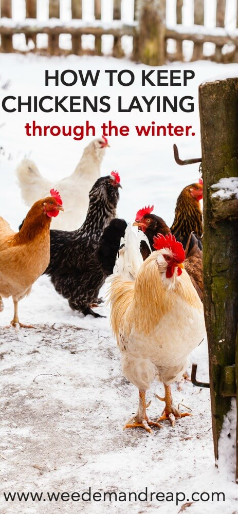 How To Keep Chickens Laying Through The Winter || Weed 'Em and Reap
