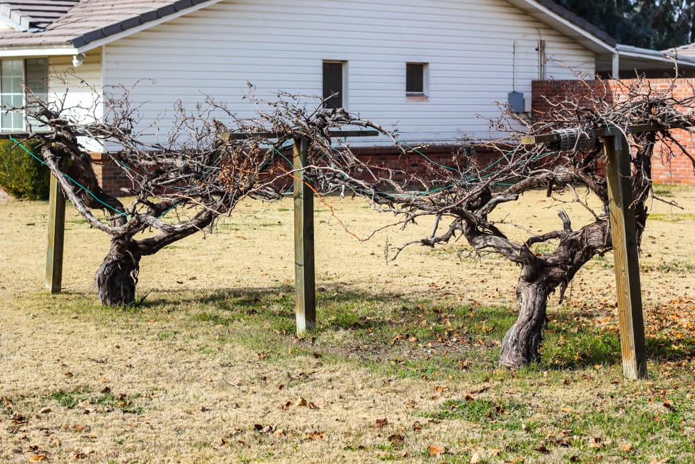 grape arbor showing signs of wear