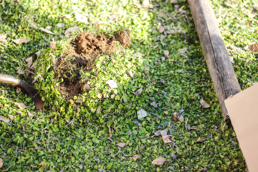 half unearthed hole in clover patch