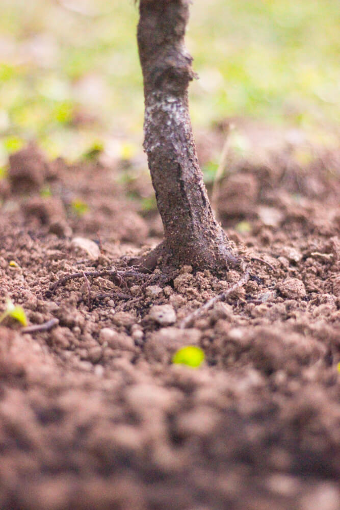 close shot of planted tree in packed earth