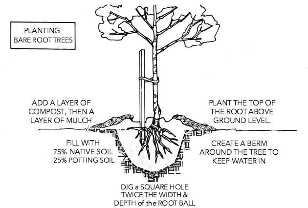diagram of how to plant a bare root tree