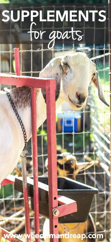 Supplements For Goats || Weed 'Em and Reap