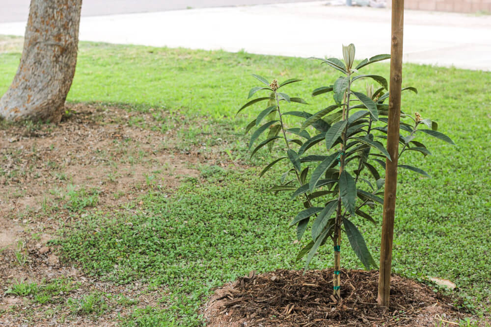loquat tree with stake