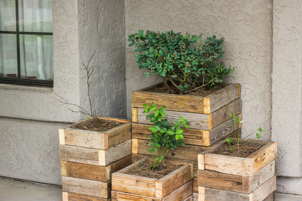 blueberries in wooden crate planters