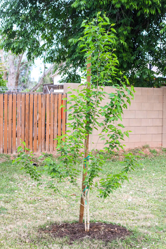 dwarf mulberry tree near stake