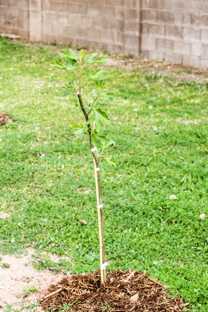 fig tree tied to stake