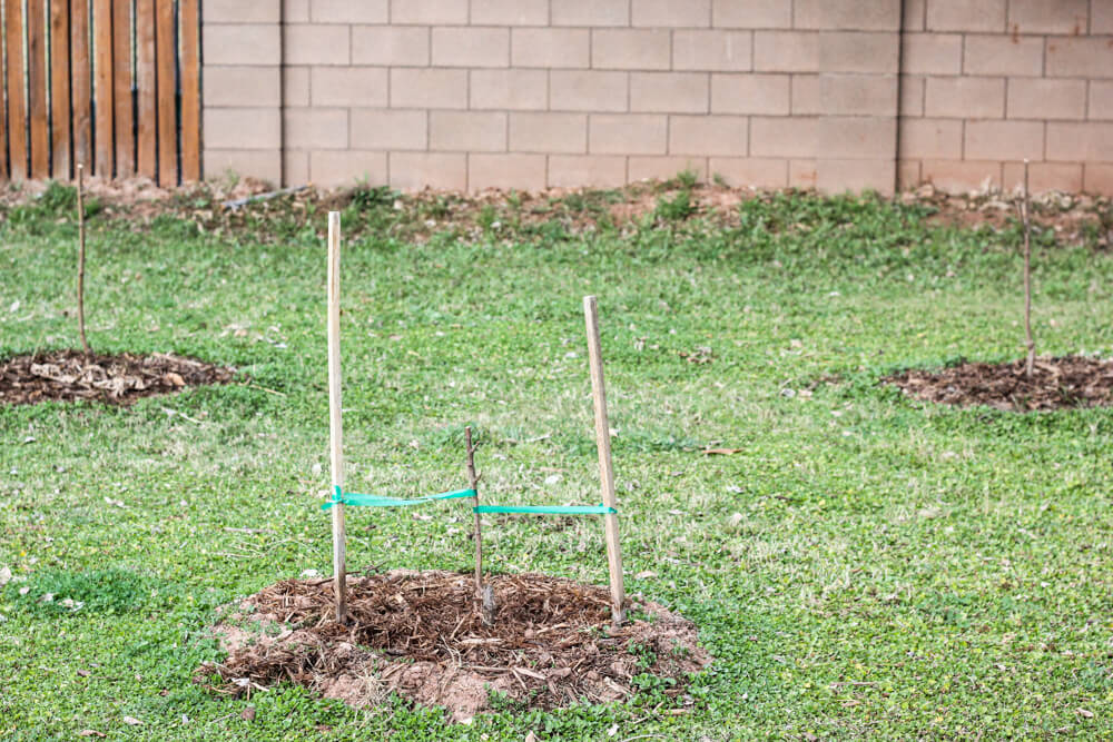 peach tree with apricot tree and plum tree in separate mulch circles