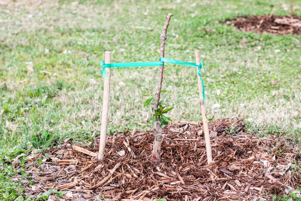 sprouting almond tree with support stakes