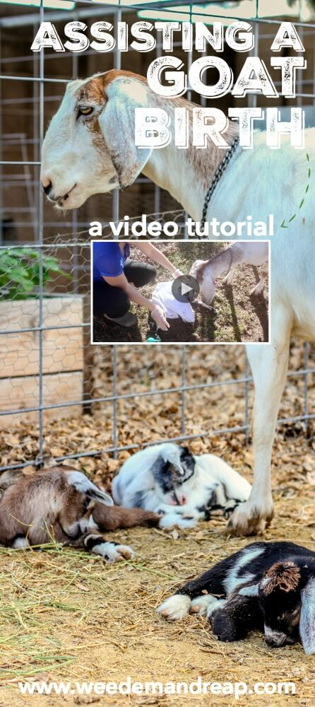 Assisting a Goat Birth Delivery {A Video Tutorial} || Weed 'Em and Reap