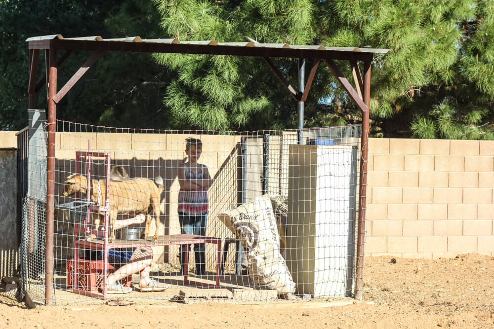 child in milking pen with goat