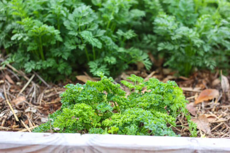 downward shot of leafy vegetables growing out of wood chips in sectioned garden box