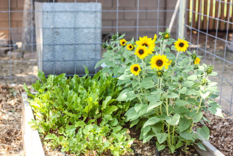 sunflowers and vegetables in a garden box in the shade