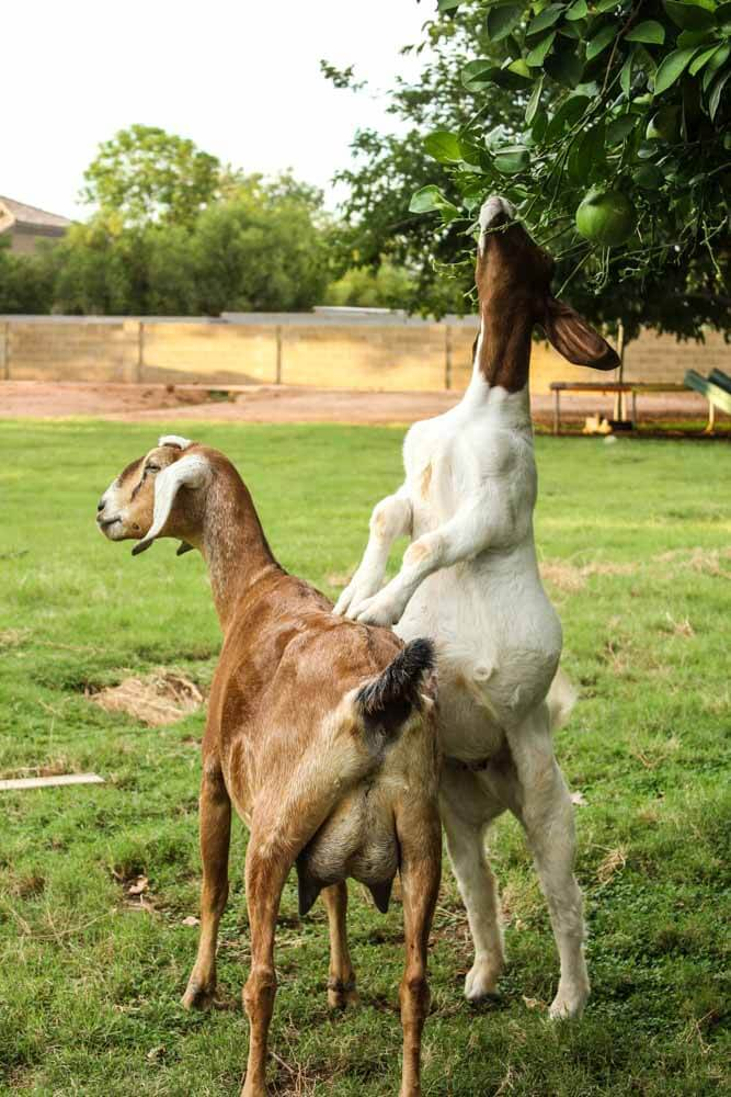 goat-helping-goat-eat