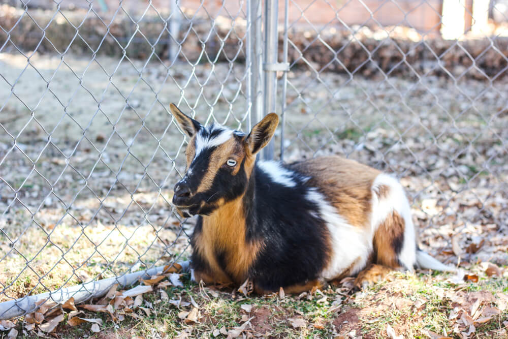 how to raise pygmy goats