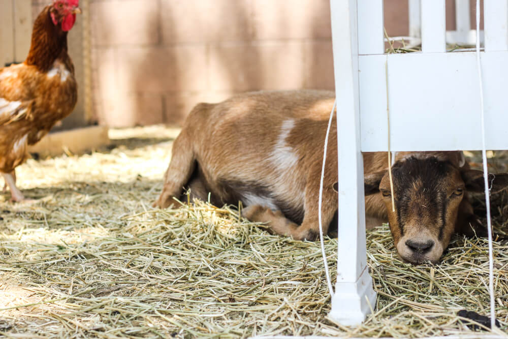 goat-resting-under-hay-feeder