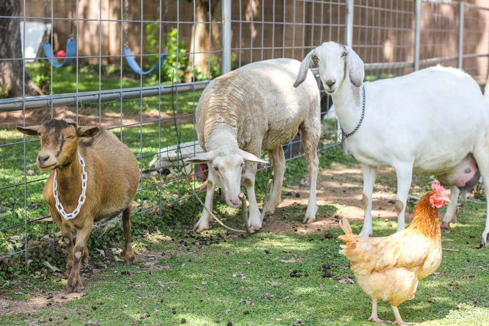 nigerian-nubian-goat-sheep-chicken-cohabitating