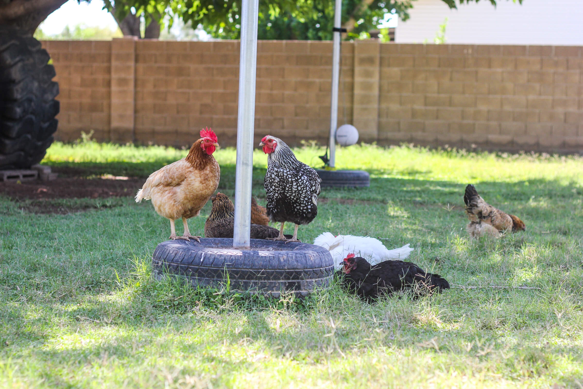 Chickens in pasture sitting on tires