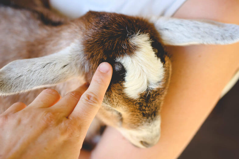 rubbing-baby-horns-clove-oil