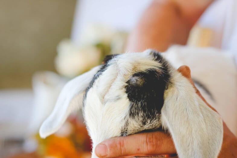 white-baby-goat-horns