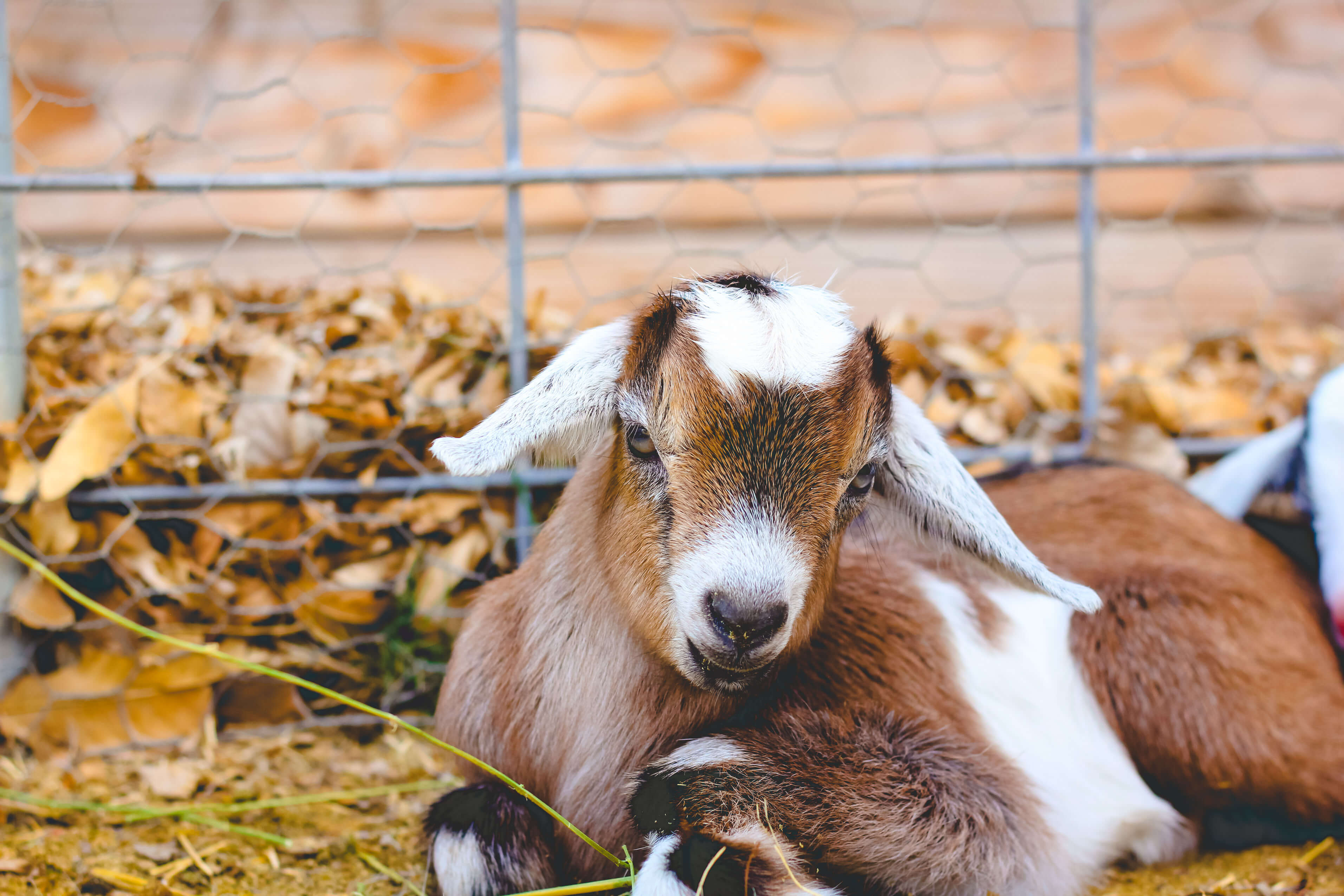 Nubian baby goat dewormed.