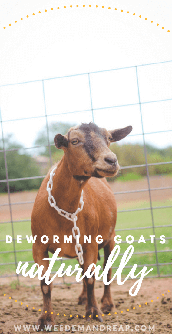 How to deworm goats naturally.