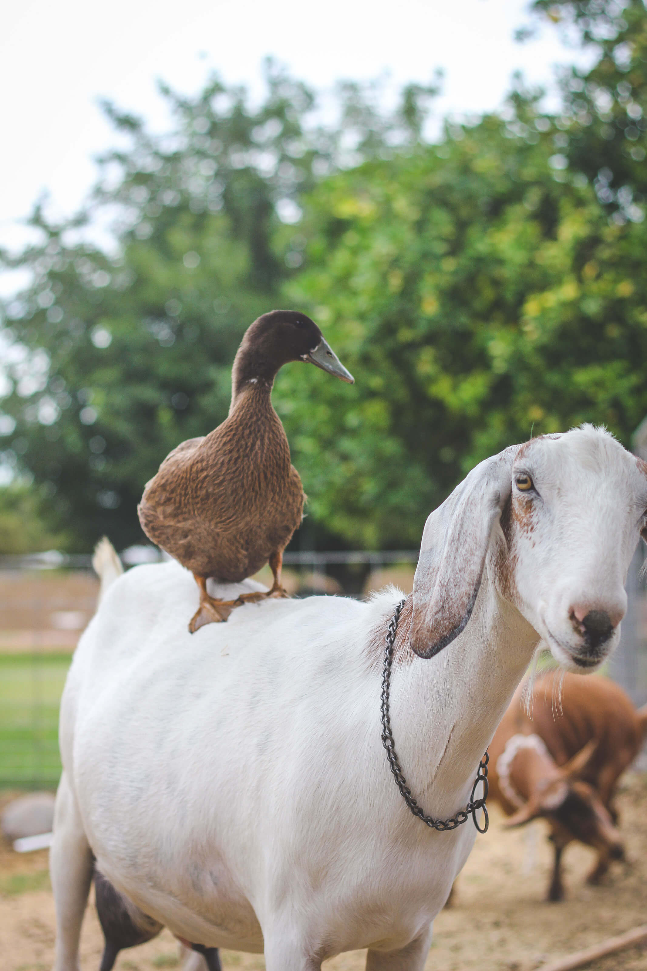 Duck sitting on goat's back on farm.
