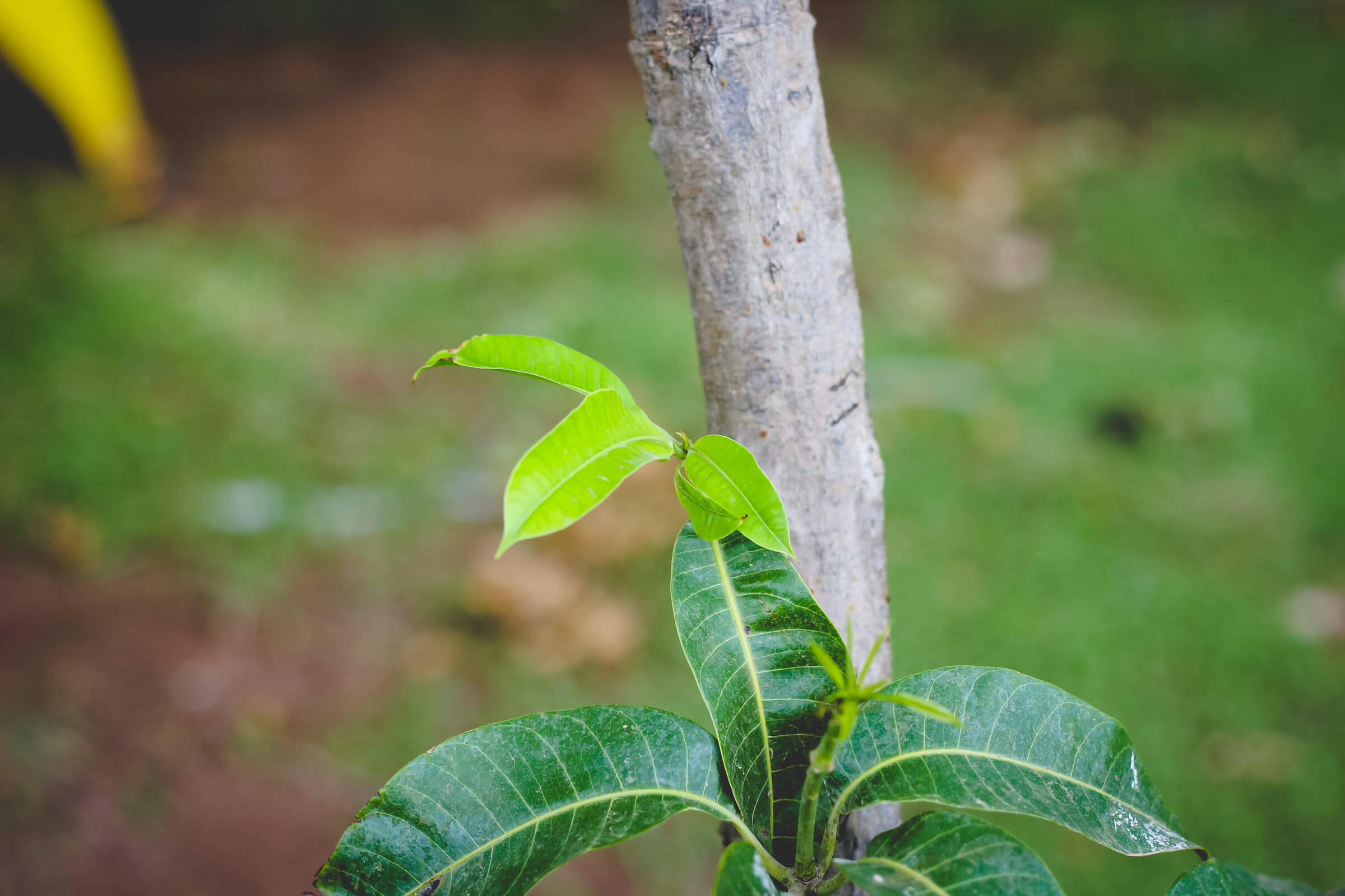 Mango tree sprouting new growth on an urban farm.