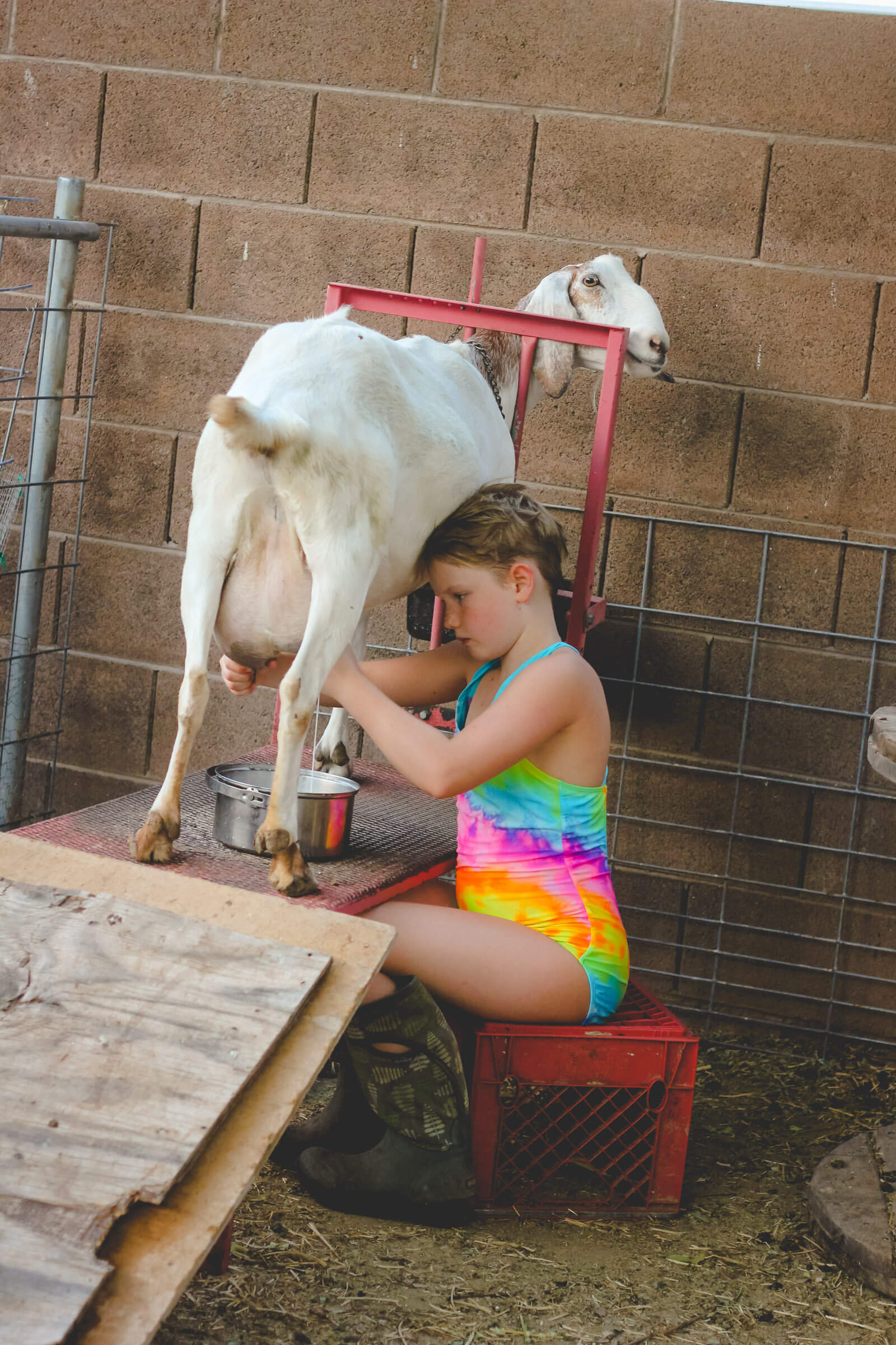 Young girl milking Nubian goat in her swimsuit on an urban farm.