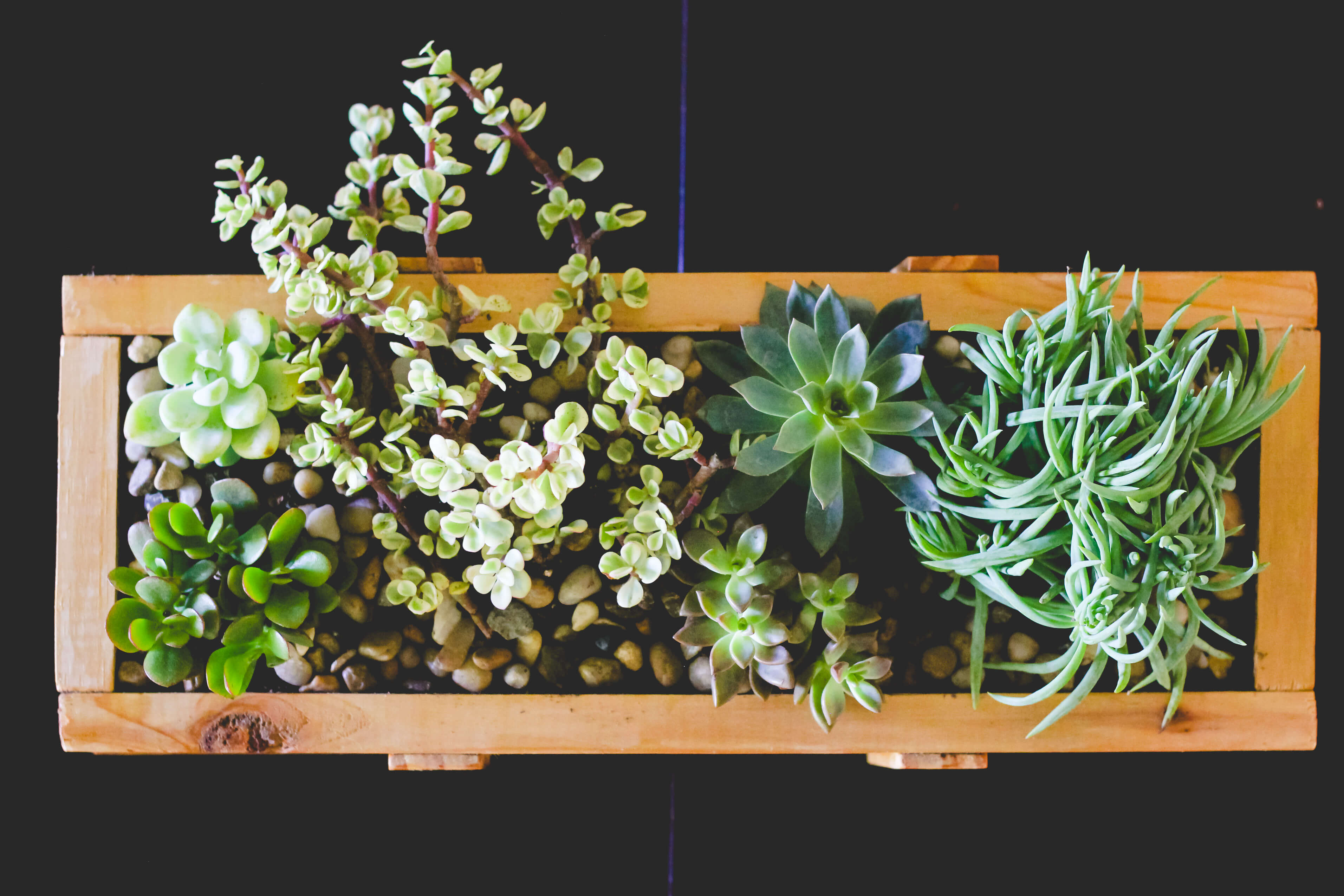 Aerial shot of succulents in wood planter.