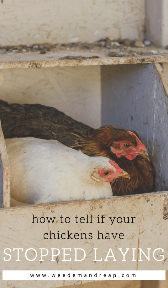 how to know which hen is laying rubber eggs
