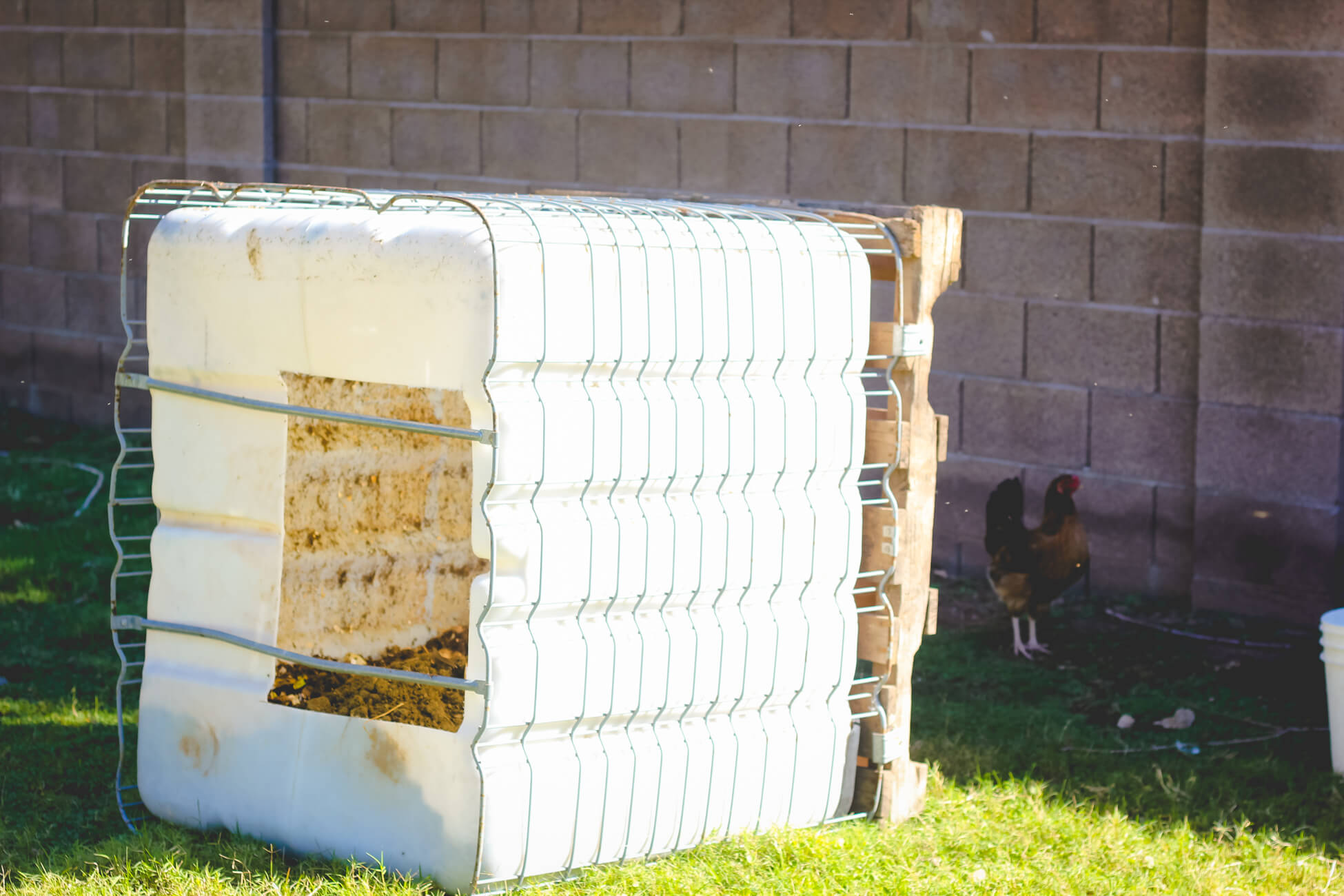 Water tank compost bin with chicken looking on