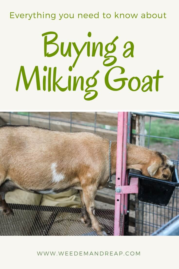 Buying Milking Goats: Everything you need to know | Weed 'em & Reap