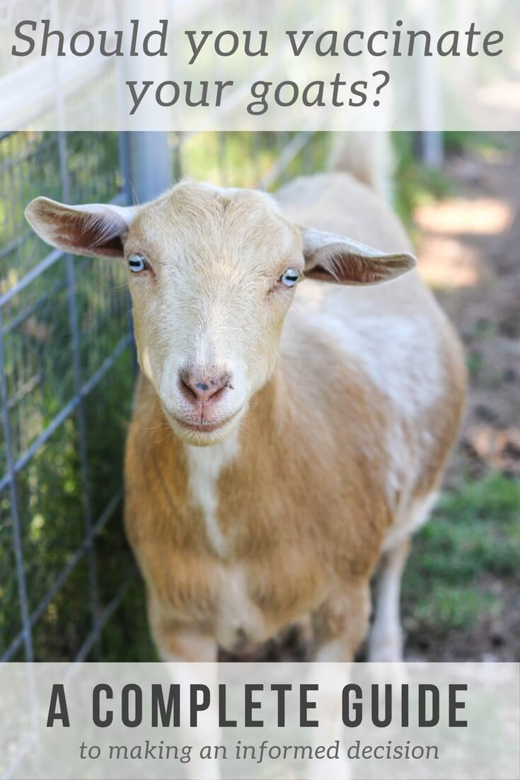 Should you vaccinate your goats? A complete guide to goat vaccinations.