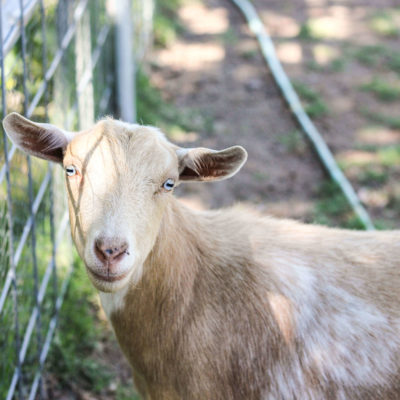 Should you Vaccinate your Goats?