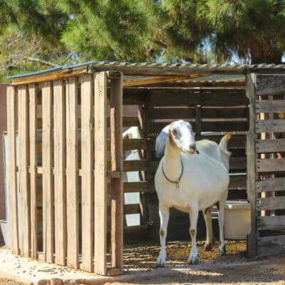 Make a Free Goat House from PALLETS
