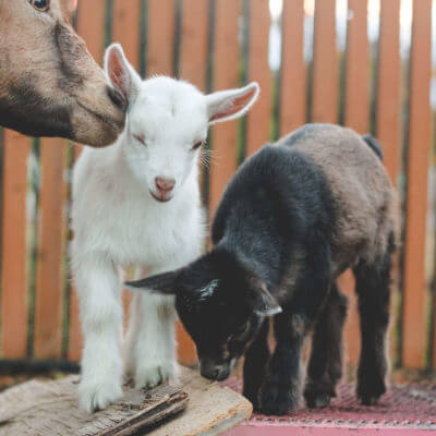 This is Why You'll Fall in Love with Nigerian Dwarf Goats