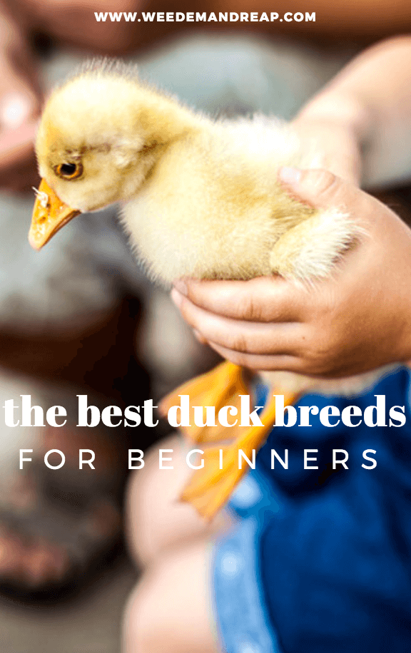 Best Duck Breeds for Beginners
