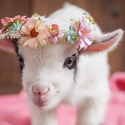 17 Pygmy Goats That Will Melt Your Heart